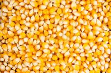 Dried Yellow Corn , Freeze Dried Sweet Corn , Corn for Animal feed