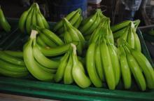 Fresh Green Cavendish Bananas
