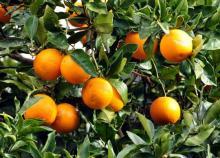 Fresh Oranges and orange juice for sale