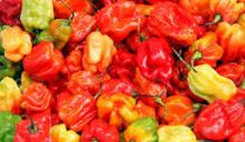 Fresh chilli fresh pepper small fresh hot chilli with stem