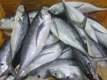 New season frozen horse mackerel fish with competitive prices.