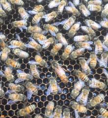 Little Fennel Honey for Sale