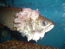 platinum black arowana, Golden Arowana Fish