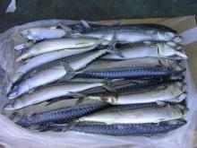 Frozen Atlantic Norwegian Mackerel