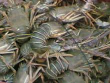 Live Green spiny lobster