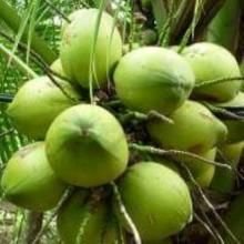 FRESH GREEN YOUNG COCONUT