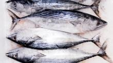 Frozen Bonito Tuna Fish