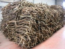 Red Deer Antler Grade A Grade A Premium quality .antlers. Fresh, Hard and Big red deer antlers ant