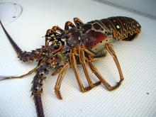 Live Spiny Lobsters