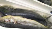 Frozen mahi mahi fish/ whole round mahi mahi