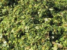 CORN SILAGE FOR COW/DAIRY COW/RUMINANT ANIMALS