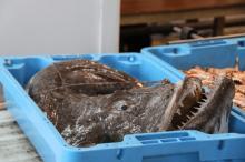 Frozen monkfish, Frozen Dogfish, Frozen Herring Fish