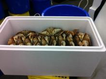 Snow crab, Chionoecetes opilio, Alaskan King Crab, Salmon Fish, Dungenes Crab
