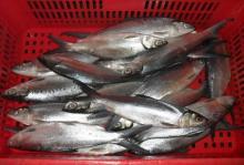 Frozen Milkfish Whole Round Details: IQF whole round 100%nw bulk 10kg/ctn Size: 800g+