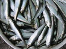 Block frozen sprats (Herring)