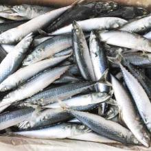 Mackerel  Frozen   Fish  for market sales quality scomber Japonicus Sea  frozen
