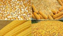 YELLOW CORN / MAIZE FOR ANIMAL FEED / NON - GLUTINOUS and GLUTINOUS