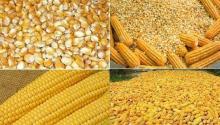 YELLOW  CORN / MAIZE FOR ANIMAL FEED / NON - GLUTINOUS and GLUTINOUS