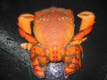 Live spanner crab cheap price