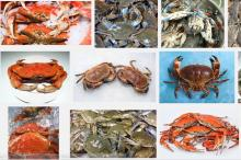 Frozen Crab,coconut crab,frozen soft shell crab,frozen blue crab
