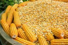 Yellow Corn & White Corn Maize