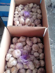 suppying the high quality white garlic