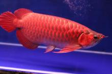 Premium Quality Asian Red , Chili Red , Super Red Arowanas for Sale
