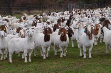 Pure Breed Boer Goats