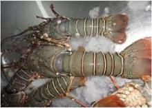 High Quality Frozen Sea Food Surimi , ,Green ,Lobsters Tail and Slipper Lobsters