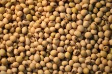 Soybean GMO / NON-GMO