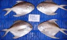 frozen white silver promfet fish