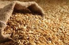 Agro barley seed