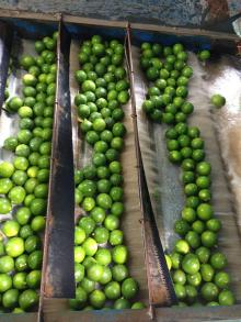 CHEAP PRICE OF FRESH GREEN LIME HIGH QUALITY FROM THAILAND