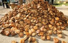 LIVE SOUTH AFRICAN ABALONES (Perlemoen) Suppliers