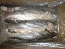 Frozen Grey Mullet