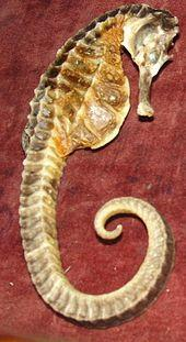 DRIED SEA HORSE