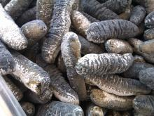 TOP GRADE Quality Dried Sea Cucumber