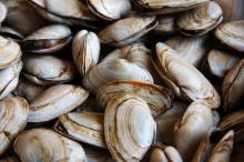 Shellfish Frozen Half Shell Mussel