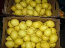 Fresh yellow and green adalia lemon/ seedless lemon