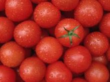 High Quality Fresh Tomato