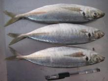 All the size of Horse mackerel