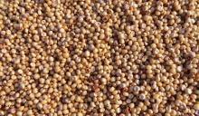 Red and White Sorghum