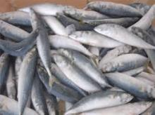 Frozen Horse Mackerel Fish (Jack/Horse/Pacific/Atlantic)