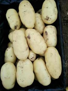 new crop fresh potatoes