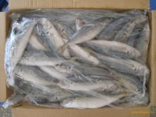 horse mackerel 10kg/ctn whole round