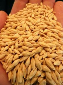 High Quality Organic Grain Barley