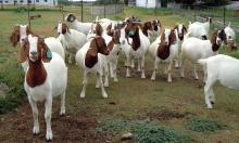 Livestock Full Blood Boer Goats for sale