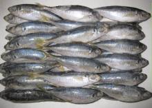 Frozen Horse Mackerel Fish