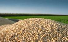 Grade ''A'' Non Gmo Dried Soybeans