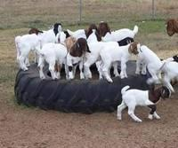Boer Goats,Holstein Heifers,Cows,Sheep